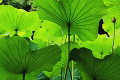 leaves (Teruhide Tomori) Tags: green nature leaves japan kyoto lotus botanicgarden naturescene