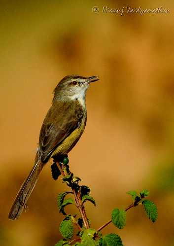 Singing Plain Prinia | Kanakpura Road