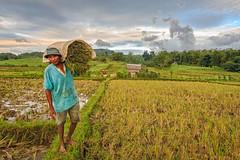 Harvesting rice (damonlynch) Tags: poverty people man rural rice farm philippines poor harvest filipino ph marginalization negrosoccidental kabankalan barangayorong