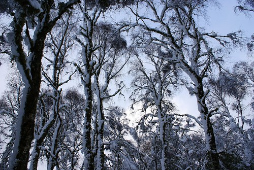 Snowy Tree Tops!