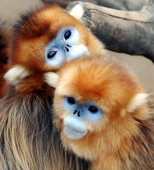 Golden monkey (floridapfe) Tags: two animal zoo monkey nikon korea everland  goldenmonkey vosplusbellesphotos