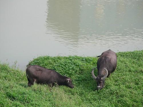 基隆河旁的牛牛