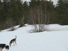 Doggies on the Montague Plains (jnoc) Tags: massachusetts plains montague montagueplains