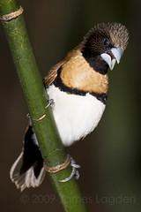 Chestnut-Breasted Mannikin (James Lagden) Tags: bird munia avian chestnutbreastedmannikin lonchuracastaneothorax