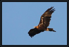 Wedge-tailed Eagle, Cooleman Ridge NR, 28.1.09 (Callocephalon Photography) Tags: bird eagle booted young australia canberra wingspan act largest moulting tawny feathered wedgetailedeagle aquilaaudax accipitriformes sigma50500mmf463 canoneos40d coolemanridgenr