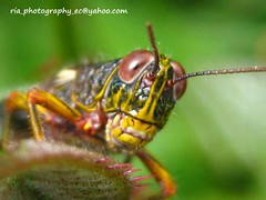 Te estoy mirando! (Ria-Photography-ec) Tags: naturaleza insectos nature colors ecuador photos insects bugs colores fotos grasshopper bichos saltamontes naturesfinest mywinners naturethroughthelens rubyphotographer notyournormalbug