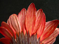 Fiery red (annkelliott) Tags: calgary alberta canada nature flora garden flower flowers red petals striped texture gerbera daisy image photograph digital colorimage horizontal closeup macro nopeople oneflower blackbackground beautyinnature flowerhead detail panasonicdmcfz18 fz18 lumix p1470426fz18 annkelliott naturesfinest explore interestingness379 explore2009march10 anneelliott2009 allrightsreserved