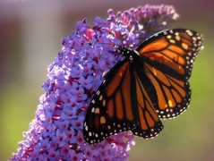 An Irish Blessing (Nature_Deb) Tags: light orange sun black flower macro green nature beauty closeup butterfly spring afternoon purple bokeh monarch transparent butterflybush