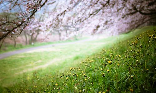 13435 : Sakura2009 #23 -Spring Landscape-