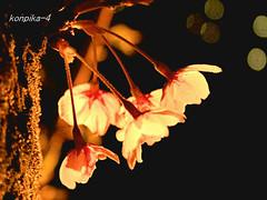 Cherry blossoms (konpika) Tags: twinkle the