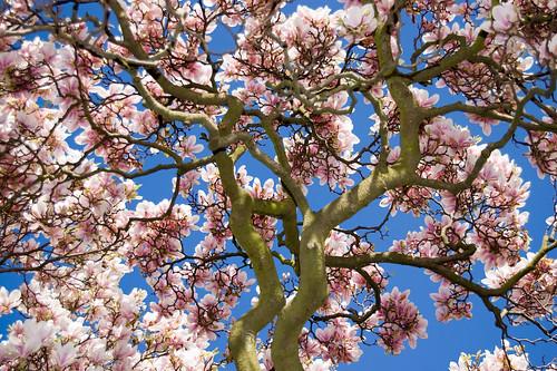 Photograph: Magnolia