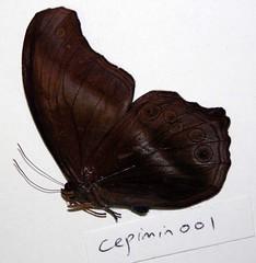 Coelites epiminthia