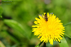... (yasinkaya) Tags: flower macro yellow dof nikkor makro soe trabzon iek 105mmf28 abigfave platinumphoto platinumheartaward yasinkaya ykaya macrolife nikond300 alemdagqualityonlyclub