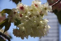 桜の通り抜け2009