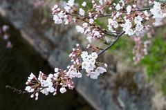 20090419 Hirosaki 012 (kavik379) Tags: cherryblossom sakura hirosaki