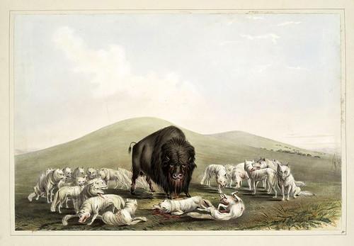 008-Los lobos blancos atacando a un bufalo-George Catlin 1845