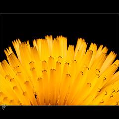 Natural fan (Paco CT) Tags: roses black flower macro yellow geotagged spain negro flor amarillo 2009 esp vegetal cataluna capnorfeu ltytr1 pacoct geo:lat=4224604817 geo:lon=324880958