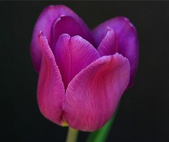 Tulip - Cropped (Deno Langis) Tags: pink flowers stilllife art friend bravo perfect photos quality fine best diamond vision absolutely oh 100 closeups mb topgun fa the gpc firstquality greatphotographers flowerscolors kartpostal bej platinumphoto colorphotoaward infinestyle diamondclassphotographer flickrdiamond theunforgetablepictures theunforgettablepictures bbfb thesuperbmasterpiece ahqmacro awsomeblossoms simplythebest~flowers theperfectpinkdiamond flickrflorescloseupmacros thecelebrationoflife daarklands imagicland lirodon sublimeflowershot mothernaturesgreenearth peeerfect