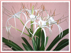 Hymenocallis caribaea (Caribbean Spiderlily, Spider Lily, White Lily) - 10 flowers so far and 1 more to unfurl. Shot April 27 2009