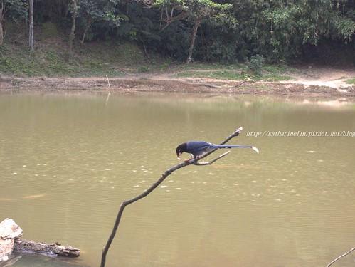 你拍攝的 16台灣藍鵲。