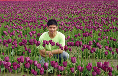 In a field of Tulipa 'Negrita'