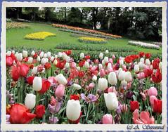 Tulipes multicolores (Photoslife) Tags: flowers fleurs canon garden couleurs champs jardin bruxelles powershot château parc tulipes floralies grandbigard naturescreations sx10is canonpowershotsx10is seronval aliceseronval photoslife