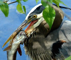 Dining heron (EcoSnake) Tags: fish birds dinner eating wildlife idaho boise greatblueheron waterbirds naturecenter ardeaherodias gbh idahofishandgame slbfeeding