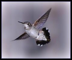 Female Anna's Hummingbird (champbass2) Tags: california nature birds northerncalifornia female fan fly wings hummingbird wildlife tail annas jewel annashummingbird colibri anawesomeshot champbass2