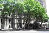 plane trees-druitt st_city of sydney