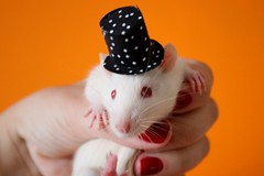 Linus with Schroeder's top-hat (Honey Pie!) Tags: orange cute rat laranja explore polkadots bolinhas tophat albino fofo redeyes cartola orangewall encantador babyrat fancyrat ratazana linnus explored olhosvermelhos paredelaranja filhotederatazana linnusvanpelt
