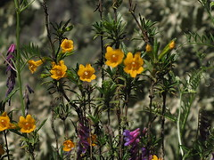 Wild flower (Mission San Jose District, California, United States) Photo