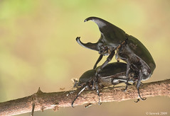 2.30 Rhinoceros beetle ... 18SX (liewwk - www.liewwkphoto.com) Tags: park wild plant macro green eye nature animal closeup fauna bug garden insect leaf flora shiny outdoor wildlife leg beetle wing foliage rhino reflective wilderness beetles shining rhinoceros antenna scarab naturesfinest scarabaeidae xylotrupes dynastinae