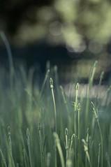 We're all on a journey to finding the real inner you (cindyloughridge) Tags: lavender secretgarden nikkor50mmf14 nikond300 emmapreset