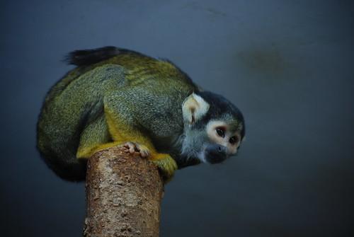 color study - tiny lemur
