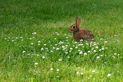 Bunny (k.burton32) Tags: berlin rabbit bunny nature field grass animal maryland berlinmd worcestercountymd