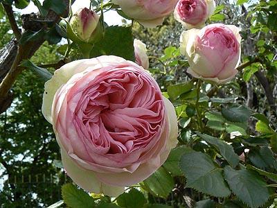 roses pâles.jpg