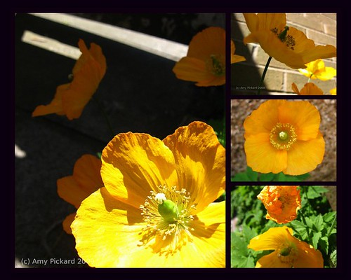 Welsh Poppies mosaic (by dyedinthewool)