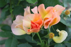 Morden Sunrise rose