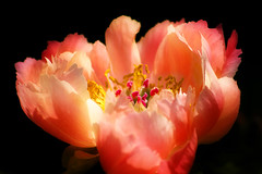 Pink Peony relaxing (alan shapiro photography) Tags: pink flower canon peony bloom flowering fabulous blooming againstblack wonderfulworldofflowers vosplusbellesphotos ashapiro515 2010alanshapiro alanshapirophotography wwwalanwshapiroblogspotcom 2010alanshapirophotography