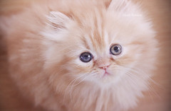 (heartbreaker [London]) Tags: baby pets cute animals cat eyes kitten mini