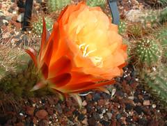"echinopsis ""apricot glow"" (carolyn1979il) Tags: pink flowers blue red orange white green yellow purple echinopsis cactuc apricotglow"