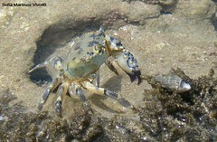Cangrejo (SOF76) Tags: summer brazil praia beach animal brasil holidays crab playa verano vacations isla ilha vacaciones morro morrodesaopaulo verao cangrejo feiras carangueijo crustaceo crustceo fotossofia sof76 sofiamartinezvivot sofamartnezvivot fotossofi cangrejobrasil