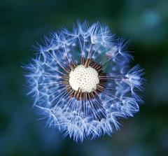 Today I feel kinda blue (jajjen) Tags: flowers blue macro nature canon sweden dandelion sverige blommor skaraborg canonefs1755mmf28isusm canoneos50d