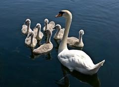 Swan &  Seven  Cygnets... (Rockridge-Digital) Tags: swan cygnets
