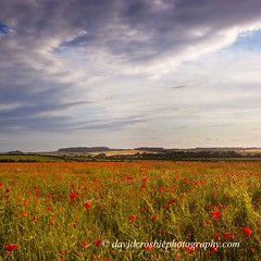 Dorset Poppies (David Crosbie) Tags: summer eveningsun dorset poppies fields fbdg scenicsnotjustlandscapes sailsevenseas