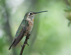 Posing Pretty (martytdx) Tags: arizona birds female lifelist az hummingbirds selasphorus trochilidae broadtailedhummingbird selasphorusplatycercus arizonatrip santaritamountains floridacanyon avianexcellence may2009 2009best