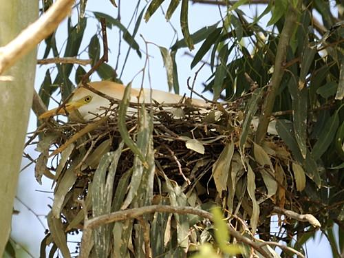 Cattle Egret on Nest