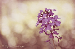 Only the Lonely (SLEEC Photos/Suzanne) Tags: flower texture nikon bokeh d300 pinkglow fantasticflower bigbearlakecalifornia memoriesbook theunforgettablepictures coffeeshopaction simplythebest~flowers theinspiregroup florabellatexture