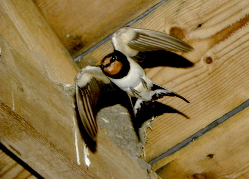 Swallow adult leaving nest