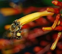 A Honey Bee collecting pollen from a long-throated shiny wet African Firebush (jungle mama) Tags: red usa wet yellow wings florida miami tropical pollen waterdrops honeybee rosy rubiaceae apismellifera macroextreme bej tubularflower abigfave hameliapatens platinumphoto anawesomeshot ysplix overtheexcellence goldstaraward beepollinating natureselegantshots ahqmacro pollenpack beegatheringnectar 100commentgroup vosplusbellesphotos beautifulmonsters dragondaggeraward smallcreatureswilllovethisplace afric